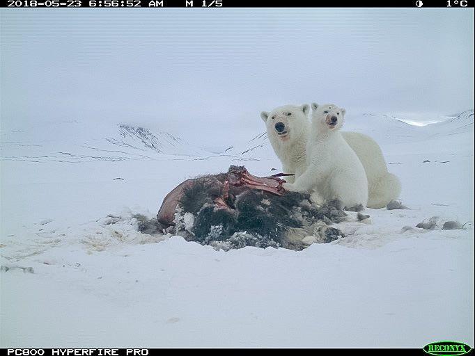 Isbjørn, Zackenberg.